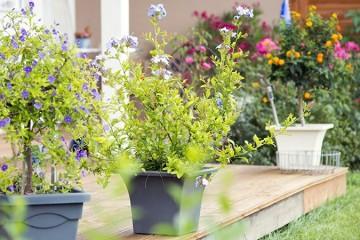 Rośliny Balkonowe: Kwiaty / Krzewy / Sadzonki